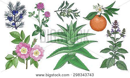 Set Medical Herbs. Dog Rose, Clover, Juniper, Aloe Vera, Olive Branch, Bitter Orange And Holy Basil.