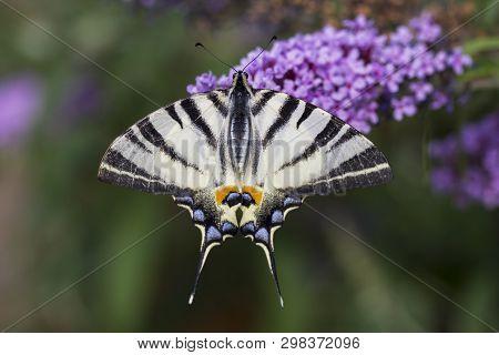 Scarce Swallowtail, Iphiclides Podalirius. Beautiful Butterfly On Flowers. Amazing Macro Photo. Colo