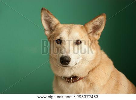 Layka Husky Dog. Detailed Portrait On A Blau Background, Cute Dog Brown-white.