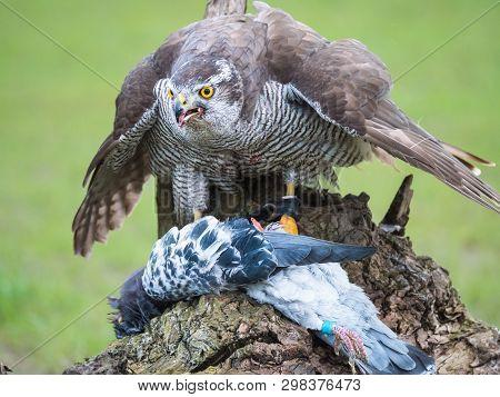 Hybrid Falcon Devours His Dead Pigeon Prey
