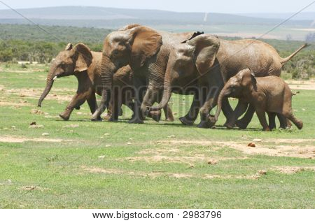 herd of elephants running towards a waterhole poster