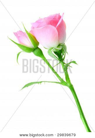 Pink Rose And Bud On A Green Stalk