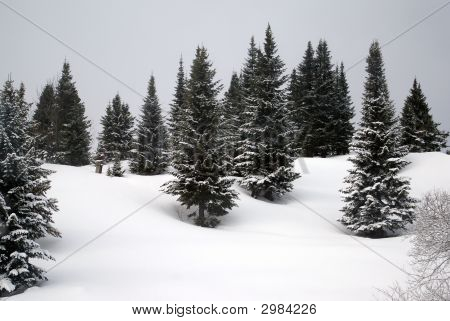 Firs In The Snow