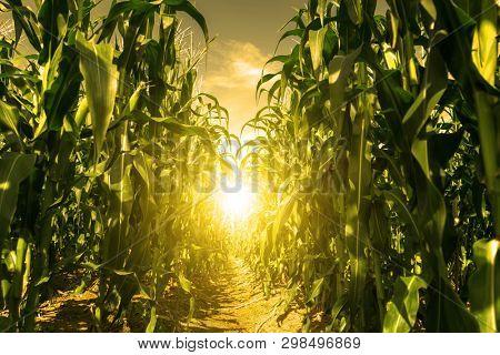 Corn field plantation in sunrise.