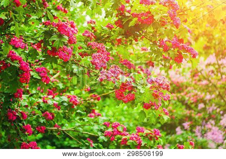 Spring flower background. Hawthorn tree pink spring flowers, in Latin Crataegus Laevigata. Hawthorn in spring blossom. Spring flower landscape with blossoming hawthorn