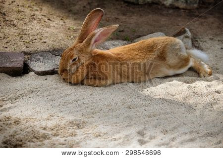 Full Body Of Domestic Male Brown Flemish Giant Rabbit. Photography Of Lively Nature.