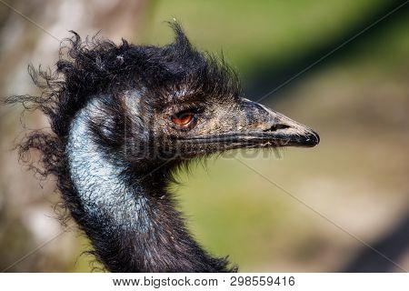Portrait Of Australian Emu (dromaius Novaehollandiae), View Of Neck And Head. Photography Of Lively