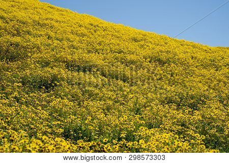 Large Field Of Goldfield Hillside Daisies During California Superbloom