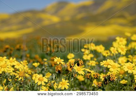 Hillside Daisies And Fiddleneck Wildflowers In Foreground With Defocused Hills Of Carrizo Plain Nati
