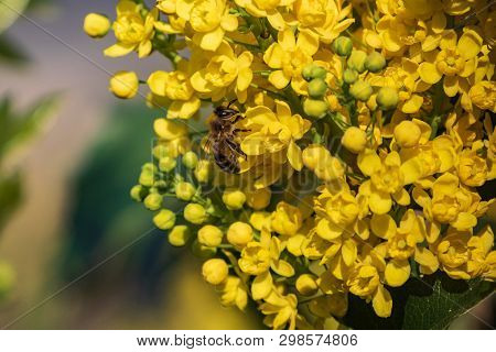A Bee On A Yellow Flower Collects Spring Honey. A Flowering Plant Of An Evergreen Shrub Of Oregon Gr