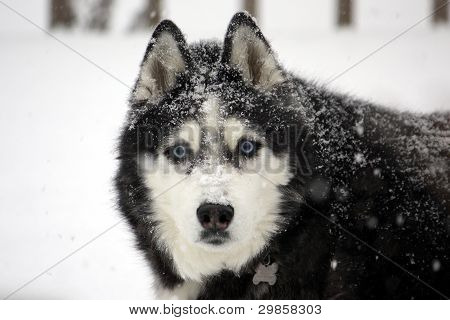 Husky Covered in Snow