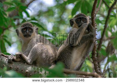 Green Vervet Monkeys in Bigilo forest park,Portrait,detail,close up The Gambia. poster