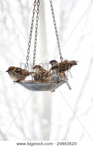 Sparrows Meeting At The Bird Feeder