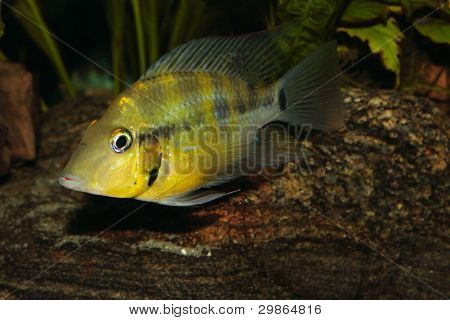 Yellow Fire Mouth (Thorichthys passionis)