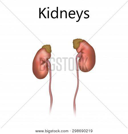 Kidneys, Adrenal Glands, Ureters. Realistic Anatomy Vector Illustration.
