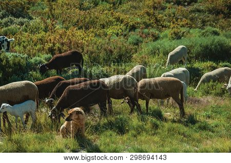Dog Watching Flock Of Goats Grazing On Sward