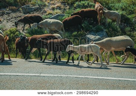 Flock Of Goats Grazing On Sward Next To Road