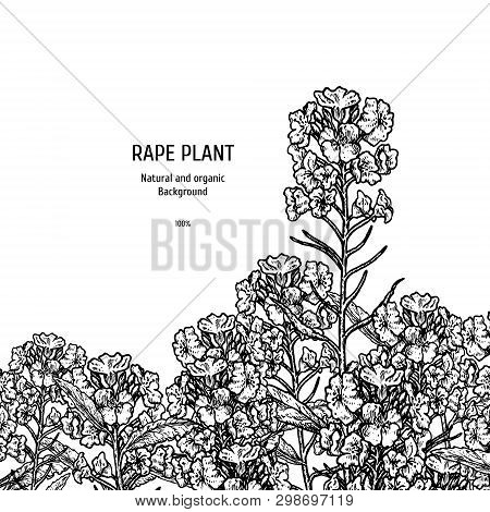 Hand Drawn Background With Rape Plant. Vintage Vector Sketch