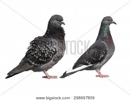 Two Common Pigeons Side View Isolated On A White Background.