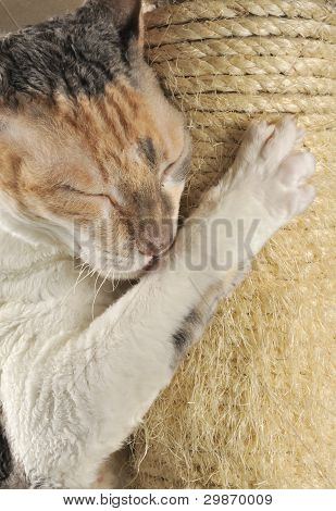 A cute cat with closed eyes scratching and hugging a scratching post poster