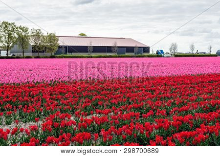 Field With Bright Pink And Red Colored Flowers And Buds Of Dutch Tulip Plants In Long Rows.  The Pho