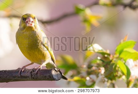 Single Greenfinch Bird Perched On Cherry Tree Full Of Blooms