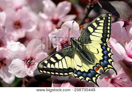 Beautiful Butterfly Machaon On A Branch Of Cherry Blossoms. Beautiful Pink Cherry Blossoms With Butt
