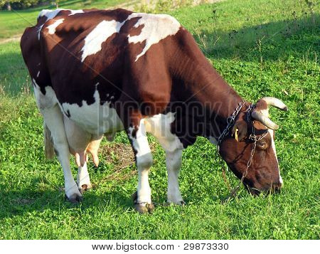 white and red cow feeding on pasture
