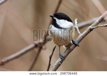 Wildlife Fauna Small Tiny Bird Birds Black Capped Chickadee