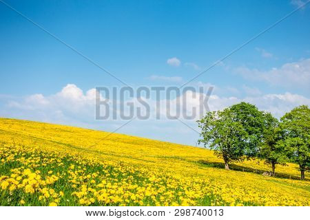 An image of a beautiful yellow dandelion meadow