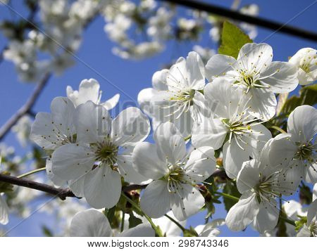 Flowering Spring Tree. A Branch Of Blossoming Cherry On A Blue Sky Background. Prunus Cerasus Blosso
