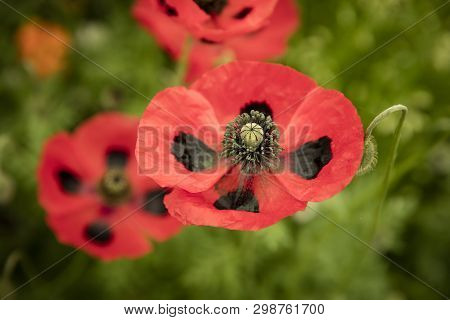 Papaver Poppy With Black Markings On Red