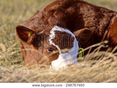 Cattle Calving Season Young Baby Calf Saskatchewan Prairie