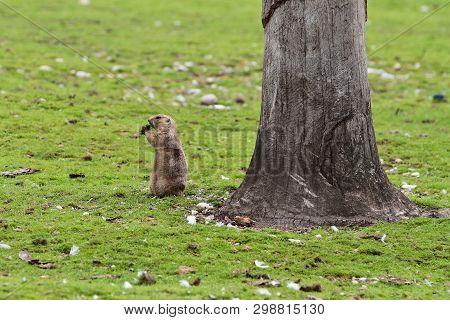 Alpine Marmot, Marmota Marmota, Is A Species Of Marmot Found In Mountainous Areas Of Central And Sou