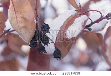 close up view of branch of black withered berries with leaves at winter poster