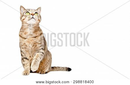 Curious Cat Scottish Strait Sitting With Raised Paw And Looking Up Isolated On White Background