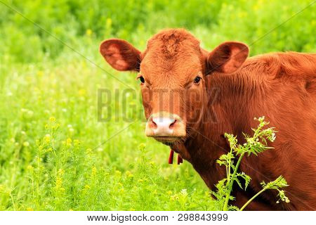 Young Brown Dairy Cow, Heifer Is Grazed On A Farm Among A Green Grass In The Summer. Big Cow In Past