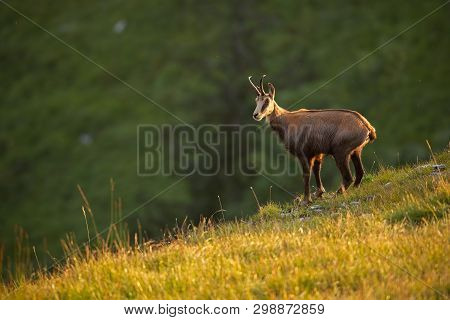 Alpine Chamois, Rupicapra Rupicapra, In The Mountains At Sunset.