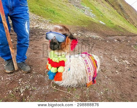 View Of A Funny Alpaca With Sunglasses Around Rainbow Mountain, Vinicunca, Cusco - Peru