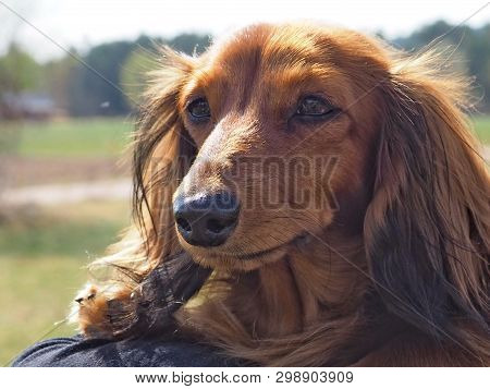 Long Haired Brown Dachshund Outdoors In Springtime