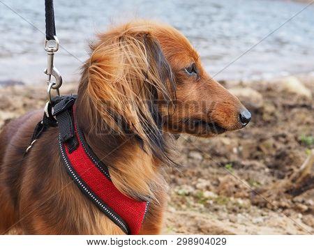 Long Haired Brown Dachshund On The Beach