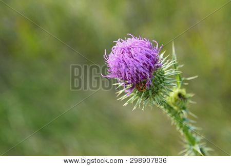 Burdock Thorny Flower With Ladybug. Arctium Lappa (gobo,beggars Buttons,  Thorny Burr,happy Major) O