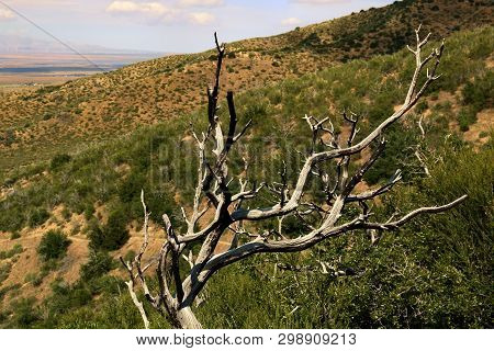 Burnt Tree Caused From A Past Wildfire Surrounded By Chaparral Plants Taken On An Arid Hillside In T