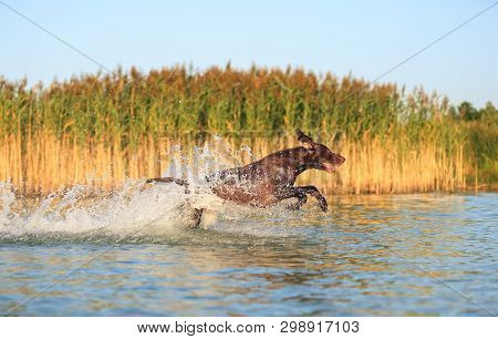 Happy Playful Muscular Thoroughbred Hunting Dog German Shorthaired Pointer. Is Jumping, Running On T