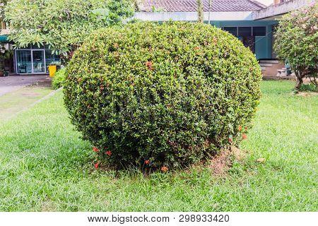 Round Shape Of Green Coniferous Shrubs In Outdoor Garden