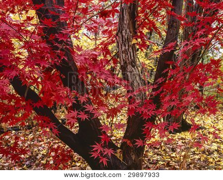 Japanese maple tree Acer palmatum in Central Park, New York City poster