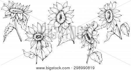 Vector Sunflower Floral Botanical Flowers. Black And White Engraved Ink Art. Isolated Sunflower Illu
