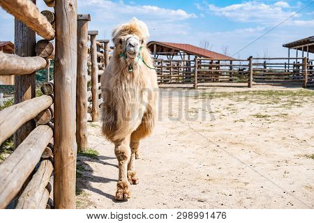Bactrian Camel In The Zoo. Even-toed Ungulate. Hoofed Mammals.
