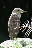 a black crowned night heron perched on a limestone rock poster