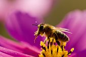 Bee on cosmos flower poster